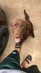 Labrador retriever  CHOCOLATE disponível pra (CRUZA)