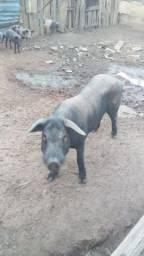 Porco cachaça reprodutor 130kg