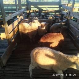 Venda de ovinos