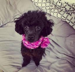 Filhote de poodle toy Black