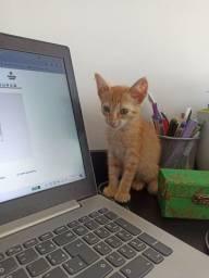 Doa-se LINDO filhote de gato laranja para adoção