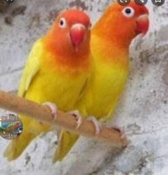 Procuro casal agapone