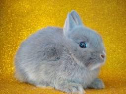 Mini Coelhas e Coelhos Anão Netherland
