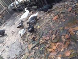 Vendo 7 patas e um pato ( obs ainda nao estao pata feita pra botar ovos