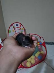 Filhotes de rato twister