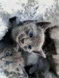 Vendo Filhotes de Russian Blue