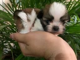 Shih TZU minúsculo macho e fêmea.