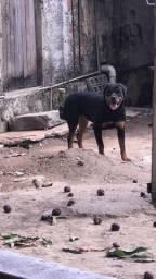 Rottweiler Fêmea
