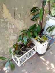 Plantas mudas árvores