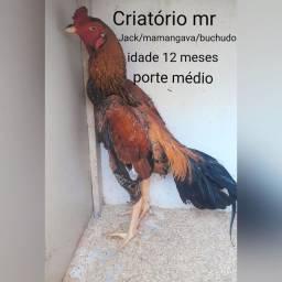 GALOS MURA BRASILEIRO