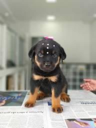 Título do anúncio: Rottweiler filhotinhos dóceis, infos