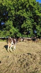Vende-se Vacas Leiteiras