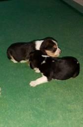 Filhotes de beagle de ALTO PADRÃO