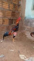 Vendo frango pintado
