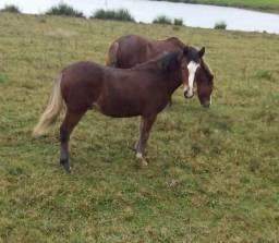 Cavalo petiço novo
