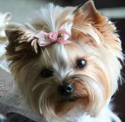 Yorkshire Terrier Miniaturas Priscila Yorks