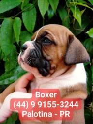 Breve lindos filhotes de Boxer
