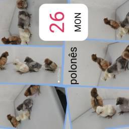 Pinto polones 10 dias