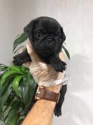 Pug preto/abricot, 11 clinicas e oferecemos suporte veterinário exclusivo em todo Brasil!