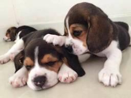 Vendo belissimos Beagle com garantia de saúde