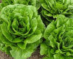 Fornecedor verduras