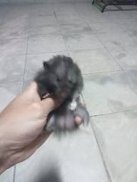 Vende-se casal de Hamster angorá