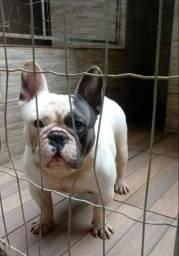 Bulldog francês exótico disponível para cruza