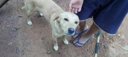 Cão médio bom pra guarda