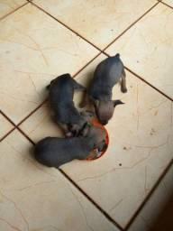 Vendo filhotes de pinscher miniaturas