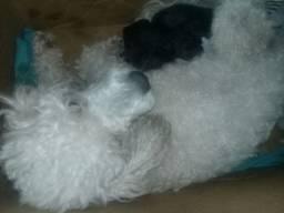 Vendo Poodles Puros