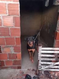 Cachorro rottweiler macho 9 mês