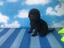 Poodle fêmea black