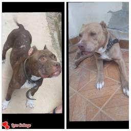 Lindos Filhotes de Pitbull Terrier