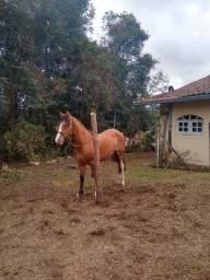 Vendo cavalo crioulo gateado