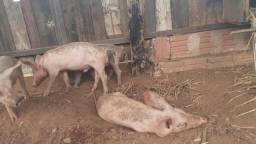 Vendo 4 porcos landrasa