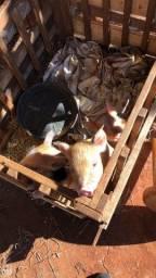 Porcos arrecem nascidos