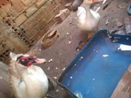 Casal de Patos reprodutor