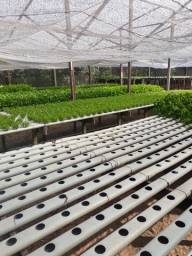 Produtos hidroponicos RÚCULA RADITE E AGRIÃO