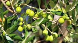 Mudas de oliveira