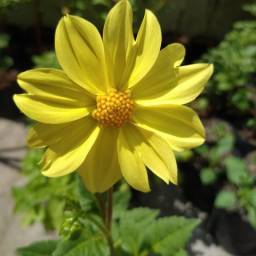 Dália Coltness amarela