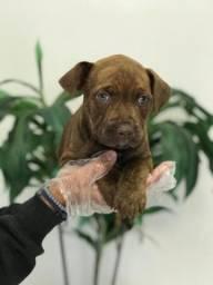Título do anúncio: Pitbull filhotinhos dóceis, infos