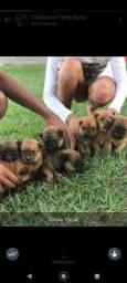 Filhotes de Chow Chow