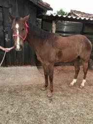 Cavalo QM 7/8