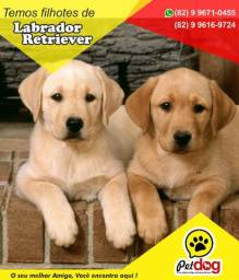 Temos Lindos filhotes de Labrador Retriever (machos e fêmeas) whats(82) 99671-0455 Pet Dog