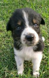 Vende-se cachorro Border Collie