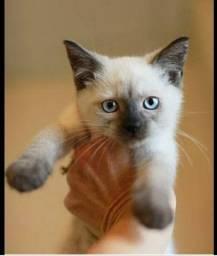 Gatos siamês filhotes doação