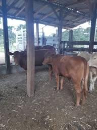 Vendo novilhas anguns gado top 9.80 o kg