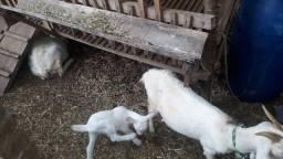 Cabras leiteiras origem Saanen
