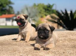Pug - Filhotes Com Pedigree