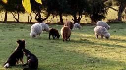 Vendo 5 ovelhas para cria,e 5 cordeiros